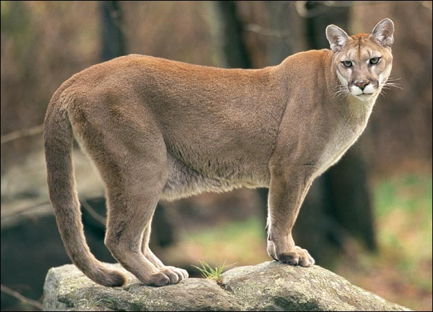 cougar guys A male who is between his 30's and 40's who gets much younger women a male  cougar is also called a rhino.